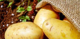 Czyste, młode ziemniaki w worku jutowym leżące na ziemi, ilustrują artykuł o typach kulinarnych ziemniaków